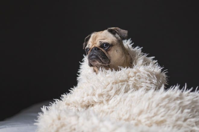 mopshond in deken gewikkeld